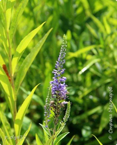 Здравствуйте!! Продолжаю фотографировать цветочки,радующие своей красотой и делиться с вами!  фото 55