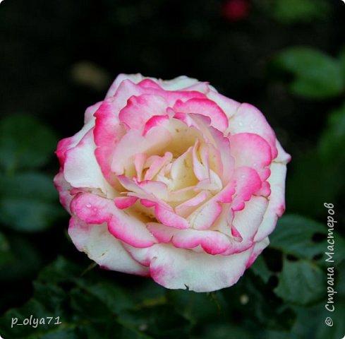 Здравствуйте!! Продолжаю фотографировать цветочки,радующие своей красотой и делиться с вами!  фото 65