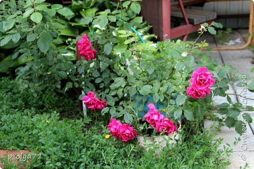 Здравствуйте!! Продолжаю фотографировать цветочки,радующие своей красотой и делиться с вами!  фото 21