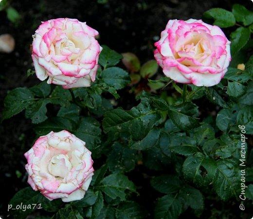 Здравствуйте!! Продолжаю фотографировать цветочки,радующие своей красотой и делиться с вами!  фото 66