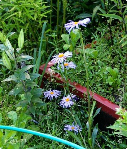 Здравствуйте!! Продолжаю фотографировать цветочки,радующие своей красотой и делиться с вами!  фото 69