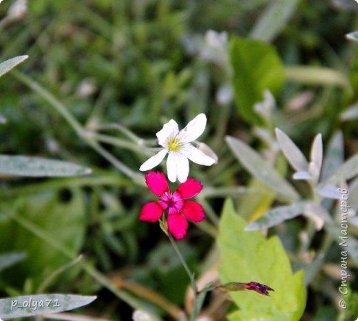 Здравствуйте!! Продолжаю фотографировать цветочки,радующие своей красотой и делиться с вами!  фото 82