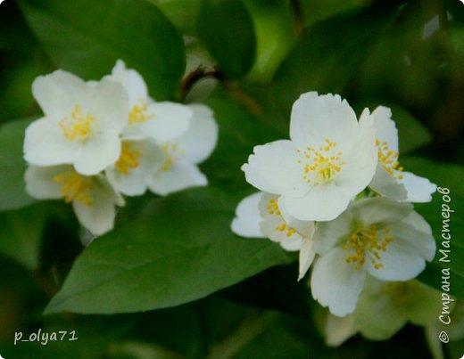 Здравствуйте!! Продолжаю фотографировать цветочки,радующие своей красотой и делиться с вами!  фото 48