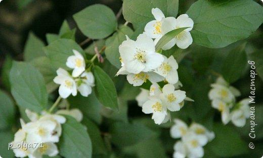 Здравствуйте!! Продолжаю фотографировать цветочки,радующие своей красотой и делиться с вами!  фото 47