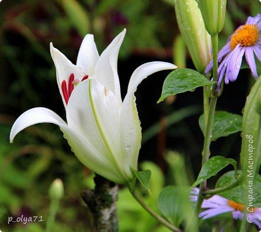 Здравствуйте!! Продолжаю фотографировать цветочки,радующие своей красотой и делиться с вами!  фото 97