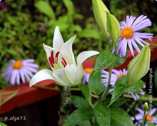 Здравствуйте!! Продолжаю фотографировать цветочки,радующие своей красотой и делиться с вами!  фото 96