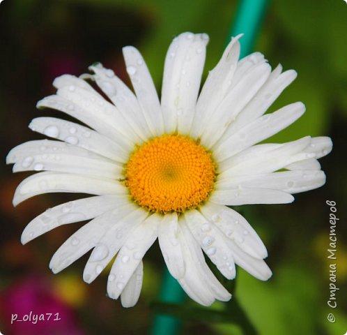Здравствуйте!! Продолжаю фотографировать цветочки,радующие своей красотой и делиться с вами!  фото 94