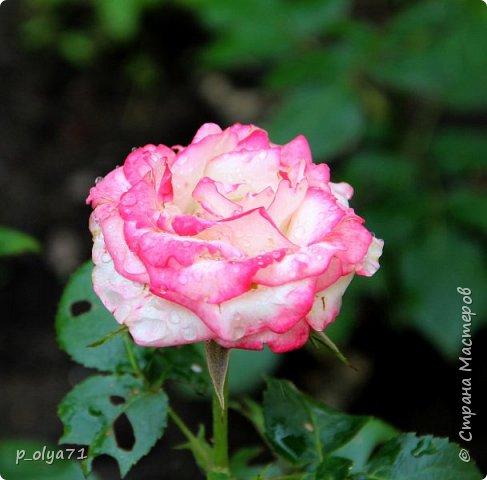Здравствуйте!! Продолжаю фотографировать цветочки,радующие своей красотой и делиться с вами!  фото 91