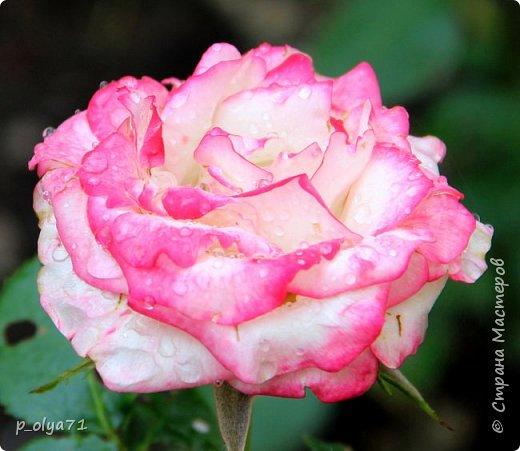 Здравствуйте!! Продолжаю фотографировать цветочки,радующие своей красотой и делиться с вами!  фото 92