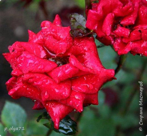 Здравствуйте!! Продолжаю фотографировать цветочки,радующие своей красотой и делиться с вами!  фото 93