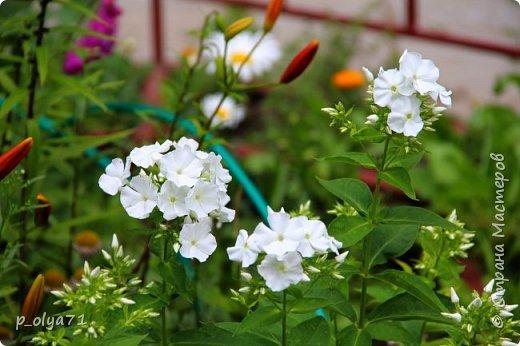 Здравствуйте!! Продолжаю фотографировать цветочки,радующие своей красотой и делиться с вами!  фото 124