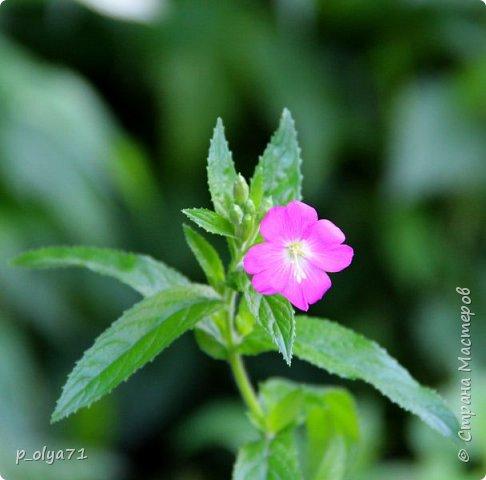 Здравствуйте!! Продолжаю фотографировать цветочки,радующие своей красотой и делиться с вами!  фото 99