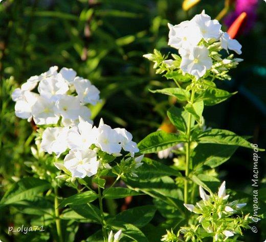Здравствуйте!! Продолжаю фотографировать цветочки,радующие своей красотой и делиться с вами!  фото 123