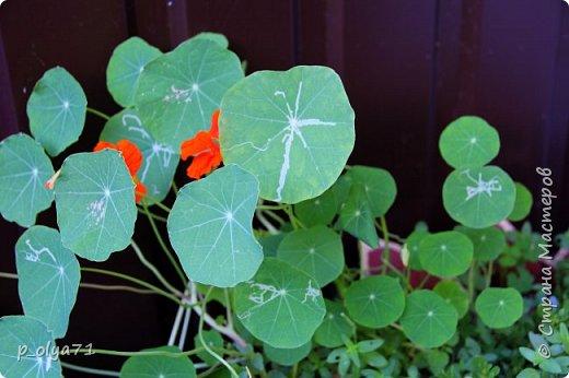Здравствуйте!! Продолжаю фотографировать цветочки,радующие своей красотой и делиться с вами!  фото 120