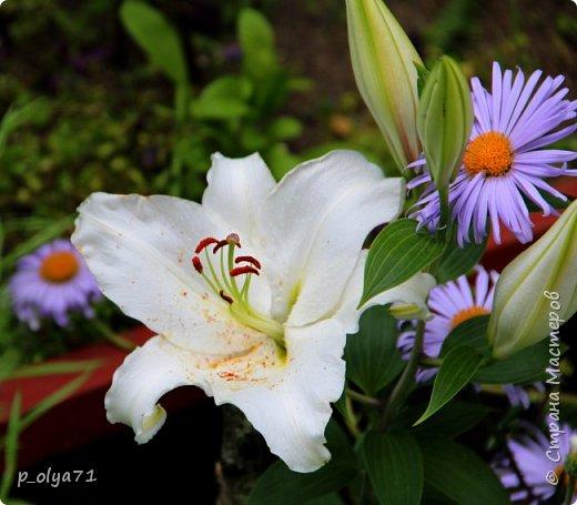 Здравствуйте!! Продолжаю фотографировать цветочки,радующие своей красотой и делиться с вами!  фото 125