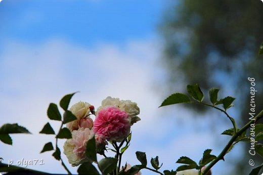 Здравствуйте!! Продолжаю фотографировать цветочки,радующие своей красотой и делиться с вами!  фото 127