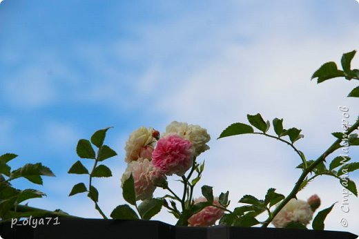 Здравствуйте!! Продолжаю фотографировать цветочки,радующие своей красотой и делиться с вами!  фото 126
