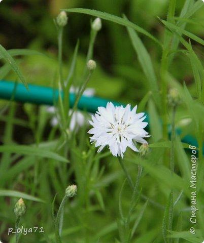 Здравствуйте!! Продолжаю фотографировать цветочки,радующие своей красотой и делиться с вами!  фото 119
