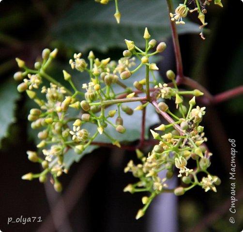 Здравствуйте!! Продолжаю фотографировать цветочки,радующие своей красотой и делиться с вами!  фото 118