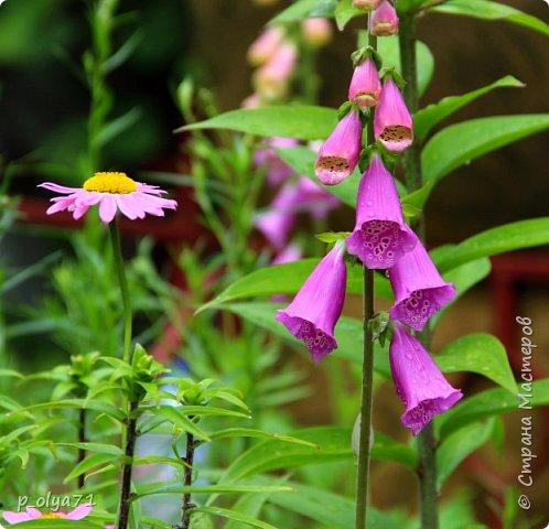 Здравствуйте!! Продолжаю фотографировать цветочки,радующие своей красотой и делиться с вами!  фото 4