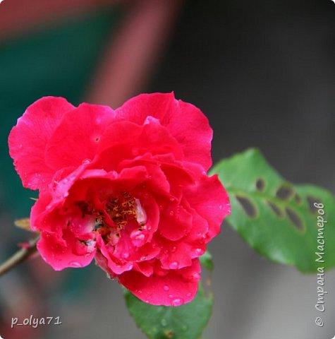 Здравствуйте!! Продолжаю фотографировать цветочки,радующие своей красотой и делиться с вами!  фото 7