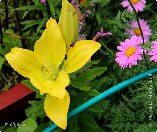 Здравствуйте!! Продолжаю фотографировать цветочки,радующие своей красотой и делиться с вами!  фото 2