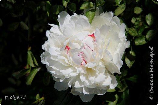 Здравствуйте!! Продолжаю фотографировать цветочки,радующие своей красотой и делиться с вами!  фото 1