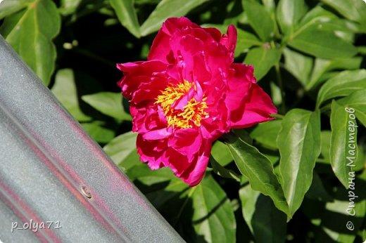 Здравствуйте!! Продолжаю фотографировать цветочки,радующие своей красотой и делиться с вами!  фото 10