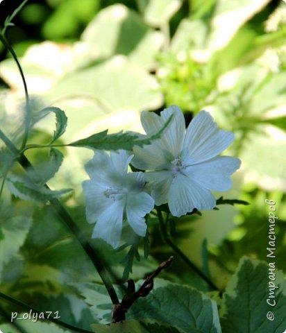 Здравствуйте!! Продолжаю фотографировать цветочки,радующие своей красотой и делиться с вами!  фото 12