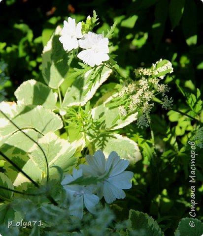 Здравствуйте!! Продолжаю фотографировать цветочки,радующие своей красотой и делиться с вами!  фото 11