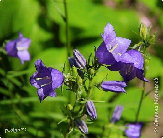Здравствуйте!! Продолжаю фотографировать цветочки,радующие своей красотой и делиться с вами!  фото 16