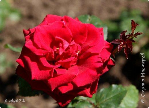 Здравствуйте!! Продолжаю фотографировать цветочки,радующие своей красотой и делиться с вами!  фото 18