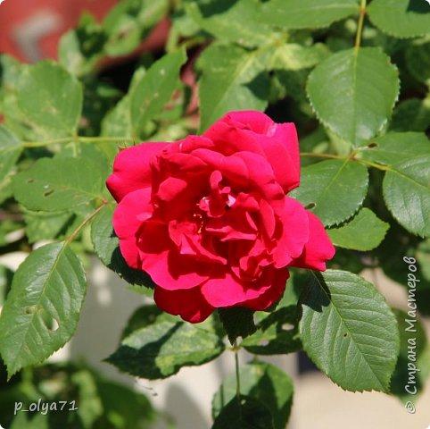 Здравствуйте!! Продолжаю фотографировать цветочки,радующие своей красотой и делиться с вами!  фото 20