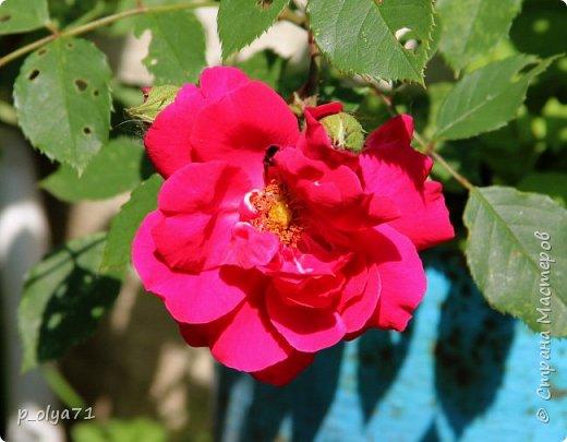 Здравствуйте!! Продолжаю фотографировать цветочки,радующие своей красотой и делиться с вами!  фото 19