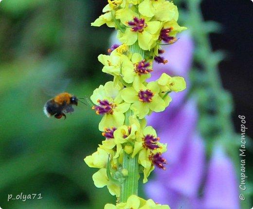 Здравствуйте!! Продолжаю фотографировать цветочки,радующие своей красотой и делиться с вами!  фото 33