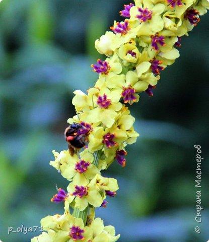 Здравствуйте!! Продолжаю фотографировать цветочки,радующие своей красотой и делиться с вами!  фото 36