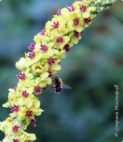 Здравствуйте!! Продолжаю фотографировать цветочки,радующие своей красотой и делиться с вами!  фото 35
