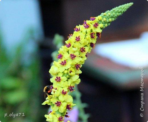 Здравствуйте!! Продолжаю фотографировать цветочки,радующие своей красотой и делиться с вами!  фото 34