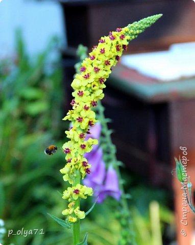 Здравствуйте!! Продолжаю фотографировать цветочки,радующие своей красотой и делиться с вами!  фото 32