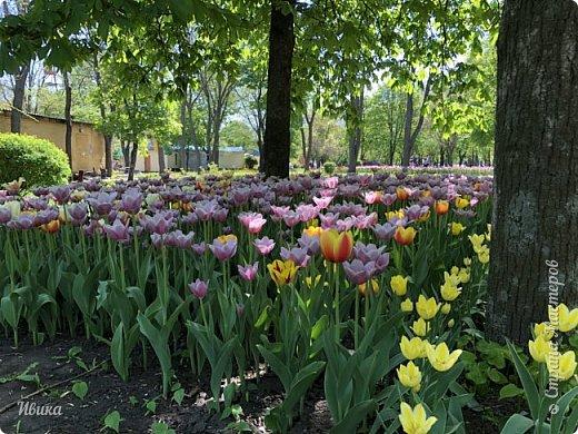 Здравствуйте, дорогие соседи!  Уже и середина лета. А я вот хочу вам напомнить о весне. Весна-цветы-тюльпаны. Это, наверное, у многих так воспринимается. Эти фото сделаны в Кировоградском городском дендропарке (нынче г.Кропивницкий, Украина). Немножко опоздали. Пик цветения был на недельку раньше. А всё же красиво! Идём гулять по аллеям парка.    фото 10