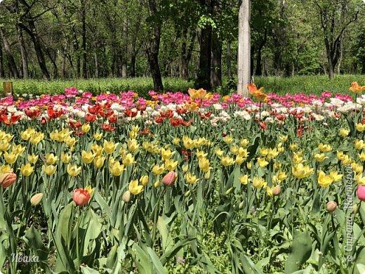 Здравствуйте, дорогие соседи!  Уже и середина лета. А я вот хочу вам напомнить о весне. Весна-цветы-тюльпаны. Это, наверное, у многих так воспринимается. Эти фото сделаны в Кировоградском городском дендропарке (нынче г.Кропивницкий, Украина). Немножко опоздали. Пик цветения был на недельку раньше. А всё же красиво! Идём гулять по аллеям парка.    фото 2