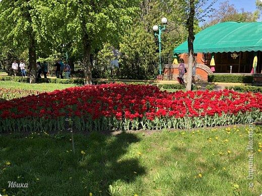 Здравствуйте, дорогие соседи!  Уже и середина лета. А я вот хочу вам напомнить о весне. Весна-цветы-тюльпаны. Это, наверное, у многих так воспринимается. Эти фото сделаны в Кировоградском городском дендропарке (нынче г.Кропивницкий, Украина). Немножко опоздали. Пик цветения был на недельку раньше. А всё же красиво! Идём гулять по аллеям парка.    фото 38