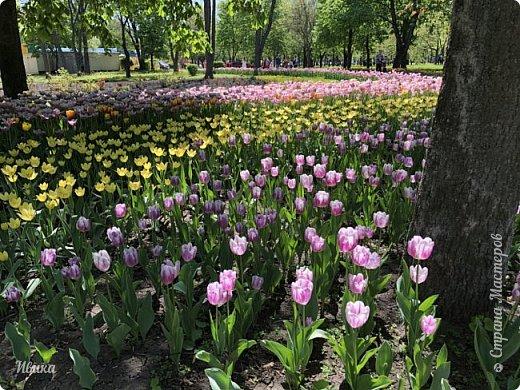 Здравствуйте, дорогие соседи!  Уже и середина лета. А я вот хочу вам напомнить о весне. Весна-цветы-тюльпаны. Это, наверное, у многих так воспринимается. Эти фото сделаны в Кировоградском городском дендропарке (нынче г.Кропивницкий, Украина). Немножко опоздали. Пик цветения был на недельку раньше. А всё же красиво! Идём гулять по аллеям парка.    фото 9