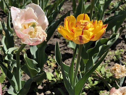 Здравствуйте, дорогие соседи!  Уже и середина лета. А я вот хочу вам напомнить о весне. Весна-цветы-тюльпаны. Это, наверное, у многих так воспринимается. Эти фото сделаны в Кировоградском городском дендропарке (нынче г.Кропивницкий, Украина). Немножко опоздали. Пик цветения был на недельку раньше. А всё же красиво! Идём гулять по аллеям парка.    фото 49