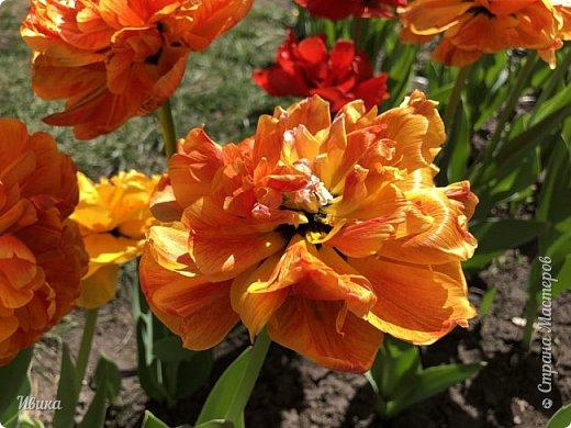 Здравствуйте, дорогие соседи!  Уже и середина лета. А я вот хочу вам напомнить о весне. Весна-цветы-тюльпаны. Это, наверное, у многих так воспринимается. Эти фото сделаны в Кировоградском городском дендропарке (нынче г.Кропивницкий, Украина). Немножко опоздали. Пик цветения был на недельку раньше. А всё же красиво! Идём гулять по аллеям парка.    фото 22