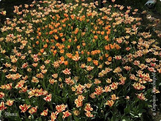 Здравствуйте, дорогие соседи!  Уже и середина лета. А я вот хочу вам напомнить о весне. Весна-цветы-тюльпаны. Это, наверное, у многих так воспринимается. Эти фото сделаны в Кировоградском городском дендропарке (нынче г.Кропивницкий, Украина). Немножко опоздали. Пик цветения был на недельку раньше. А всё же красиво! Идём гулять по аллеям парка.    фото 17