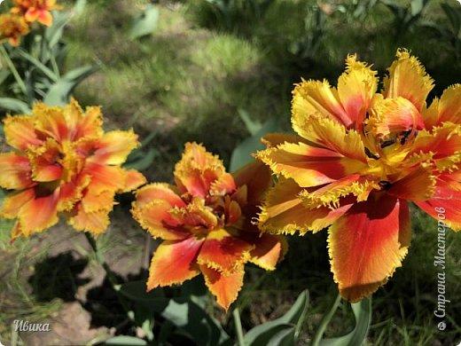 Здравствуйте, дорогие соседи!  Уже и середина лета. А я вот хочу вам напомнить о весне. Весна-цветы-тюльпаны. Это, наверное, у многих так воспринимается. Эти фото сделаны в Кировоградском городском дендропарке (нынче г.Кропивницкий, Украина). Немножко опоздали. Пик цветения был на недельку раньше. А всё же красиво! Идём гулять по аллеям парка.    фото 44