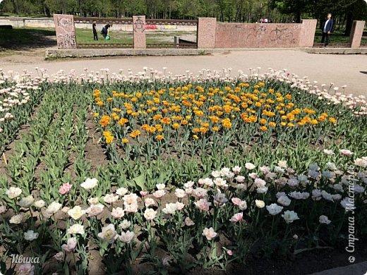 Здравствуйте, дорогие соседи!  Уже и середина лета. А я вот хочу вам напомнить о весне. Весна-цветы-тюльпаны. Это, наверное, у многих так воспринимается. Эти фото сделаны в Кировоградском городском дендропарке (нынче г.Кропивницкий, Украина). Немножко опоздали. Пик цветения был на недельку раньше. А всё же красиво! Идём гулять по аллеям парка.    фото 48