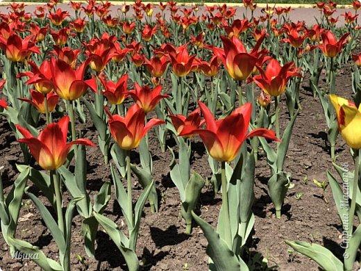 Здравствуйте, дорогие соседи!  Уже и середина лета. А я вот хочу вам напомнить о весне. Весна-цветы-тюльпаны. Это, наверное, у многих так воспринимается. Эти фото сделаны в Кировоградском городском дендропарке (нынче г.Кропивницкий, Украина). Немножко опоздали. Пик цветения был на недельку раньше. А всё же красиво! Идём гулять по аллеям парка.    фото 6