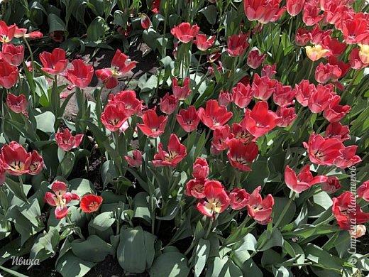 Здравствуйте, дорогие соседи!  Уже и середина лета. А я вот хочу вам напомнить о весне. Весна-цветы-тюльпаны. Это, наверное, у многих так воспринимается. Эти фото сделаны в Кировоградском городском дендропарке (нынче г.Кропивницкий, Украина). Немножко опоздали. Пик цветения был на недельку раньше. А всё же красиво! Идём гулять по аллеям парка.    фото 26